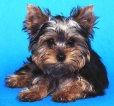 Yorkshire Terrier, 2, black and browne